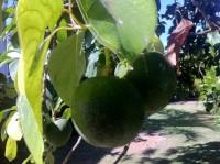 avocado_tree
