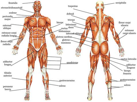 These are your muscles. Understand the big groups, then work them regularly.